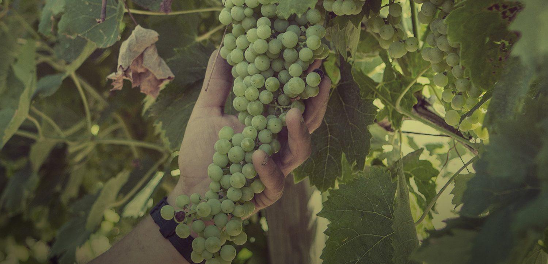 uva monte tondo